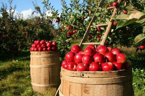 apples-1872997_640